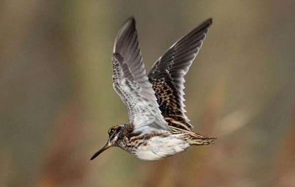 Гаршнеп-птица-Описание-особенности-виды-образ-жизни-и-среда-обитания-гаршнепа-8