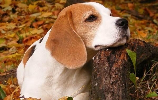 Гладкошерстные-породы-собак-их-особенности-виды-и-фото-1