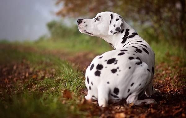 Гладкошерстные-породы-собак-их-особенности-виды-и-фото-11