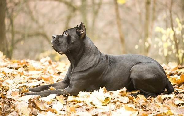 Гладкошерстные-породы-собак-их-особенности-виды-и-фото-13
