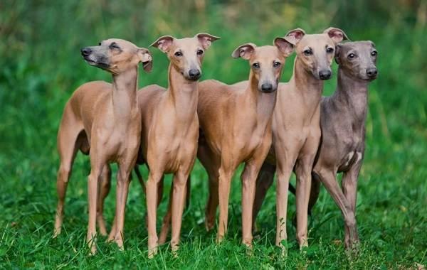 Гладкошерстные-породы-собак-их-особенности-виды-и-фото-2
