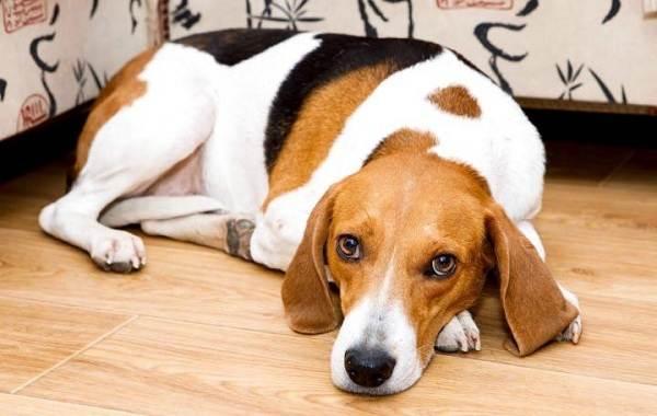 Гладкошерстные-породы-собак-их-особенности-виды-и-фото-3