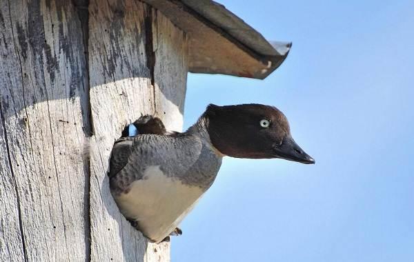 Гоголь-птица-Описание-особенности-виды-образ-жизни-и-среда-обитания-гоголя-10
