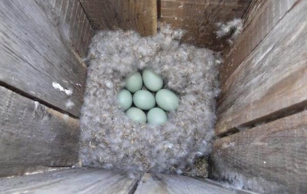 Гоголь-птица-Описание-особенности-виды-образ-жизни-и-среда-обитания-гоголя-12