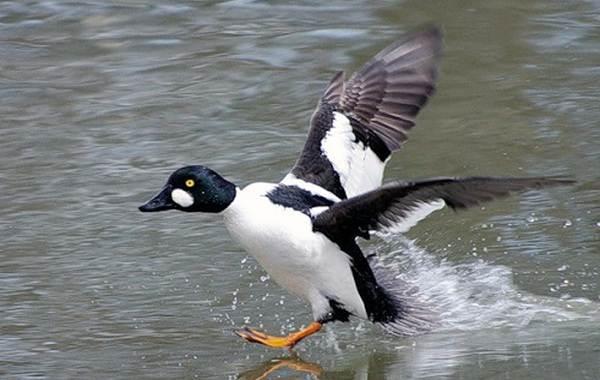 Гоголь-птица-Описание-особенности-виды-образ-жизни-и-среда-обитания-гоголя-2