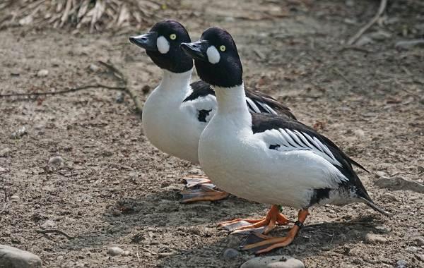Гоголь-птица-Описание-особенности-виды-образ-жизни-и-среда-обитания-гоголя-3