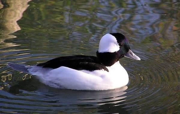 Гоголь-птица-Описание-особенности-виды-образ-жизни-и-среда-обитания-гоголя-6