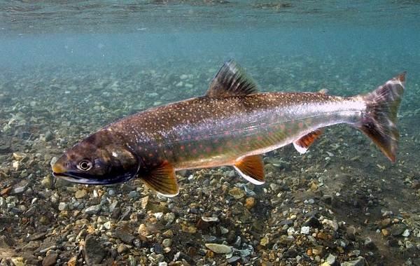 Голец-рыба-Описание-особенности-виды-образ-жизни-и-среда-обитания-гольца-1