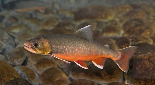 Голец-рыба-Описание-особенности-виды-образ-жизни-и-среда-обитания-гольца-11