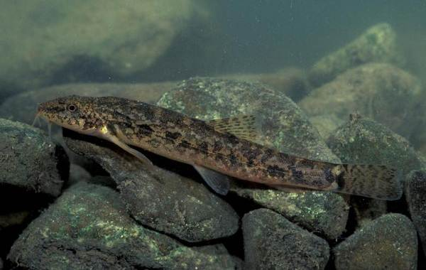 Голец-рыба-Описание-особенности-виды-образ-жизни-и-среда-обитания-гольца-12