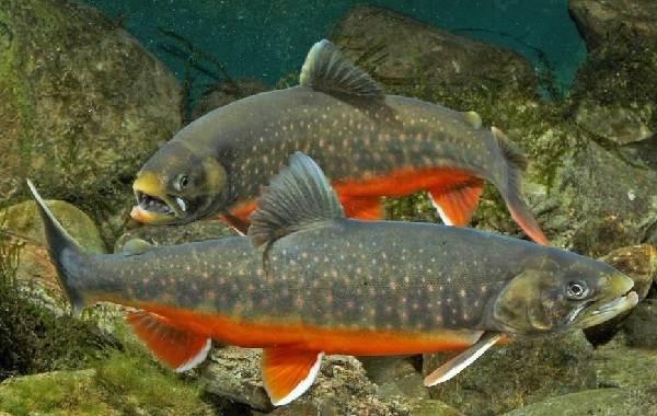 Голец-рыба-Описание-особенности-виды-образ-жизни-и-среда-обитания-гольца-13