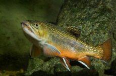 Голец рыба. Описание, особенности, виды, образ жизни и среда обитания гольца
