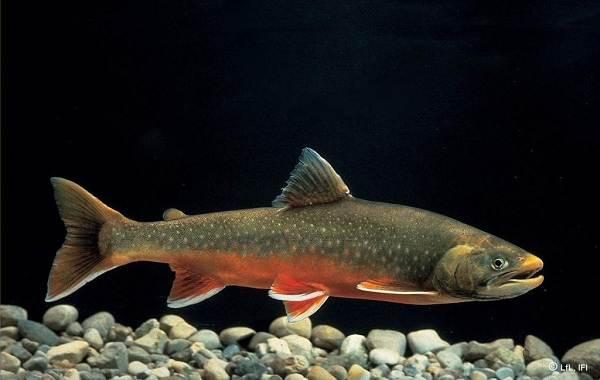 Голец-рыба-Описание-особенности-виды-образ-жизни-и-среда-обитания-гольца-5