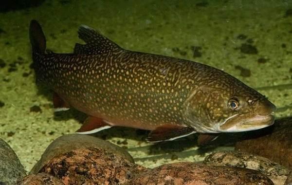 Голец-рыба-Описание-особенности-виды-образ-жизни-и-среда-обитания-гольца-7
