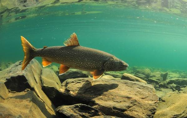 Голец-рыба-Описание-особенности-виды-образ-жизни-и-среда-обитания-гольца-8