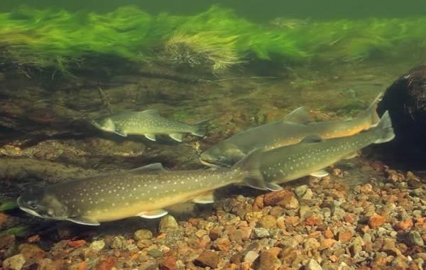 Голец-рыба-Описание-особенности-виды-образ-жизни-и-среда-обитания-гольца-9