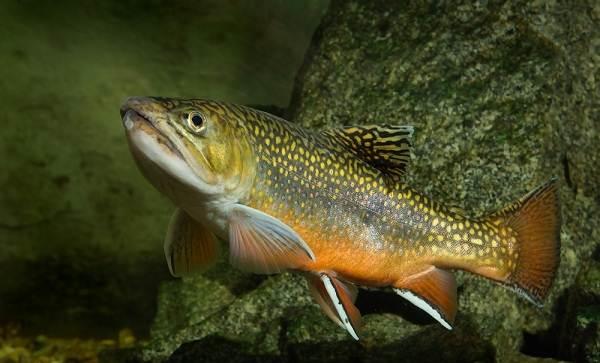 Голец-рыба-Описание-особенности-виды-образ-жизни-и-среда-обитания-гольца