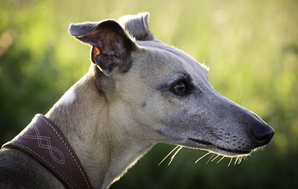 Грейхаунд-собака-Описание-особенности-виды-уход-и-цена-породы-грейхаунд-1