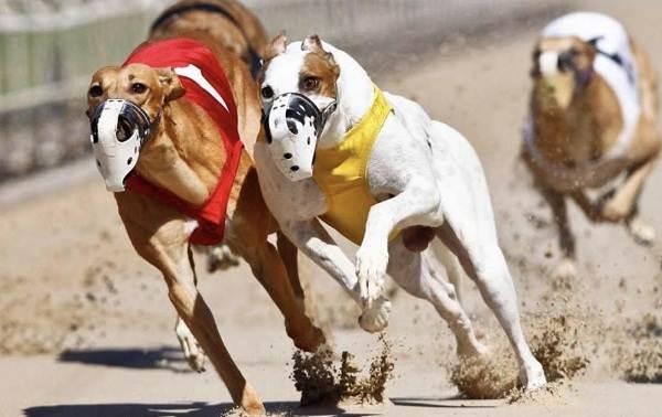 Грейхаунд-собака-Описание-особенности-виды-уход-и-цена-породы-грейхаунд-10