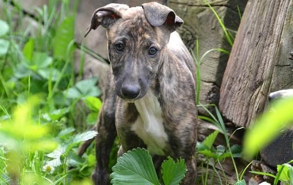 Грейхаунд-собака-Описание-особенности-виды-уход-и-цена-породы-грейхаунд-11