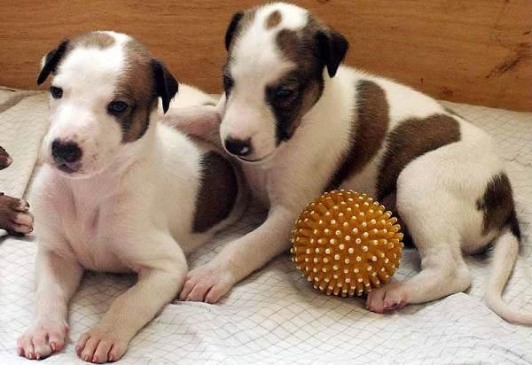 Грейхаунд-собака-Описание-особенности-виды-уход-и-цена-породы-грейхаунд-13
