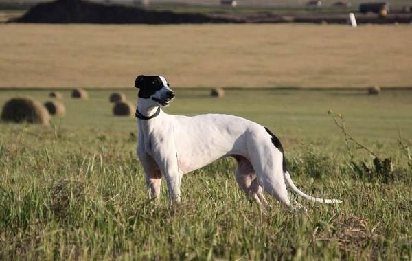 Грейхаунд-собака-Описание-особенности-виды-уход-и-цена-породы-грейхаунд-3