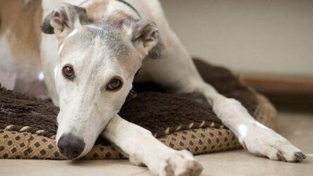 Грейхаунд собака. Описание, особенности, виды, уход и цена породы грейхаунд