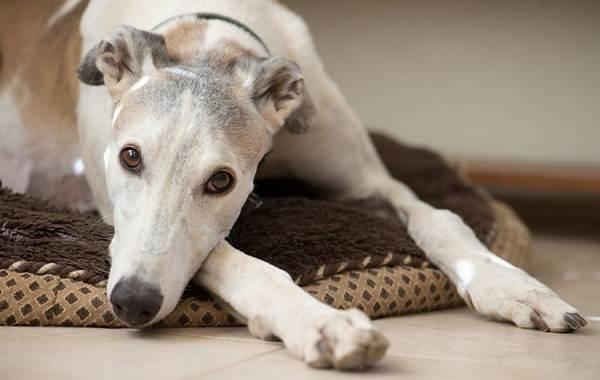 Грейхаунд-собака-Описание-особенности-виды-уход-и-цена-породы-грейхаунд-4