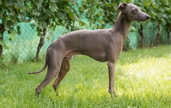 Грейхаунд-собака-Описание-особенности-виды-уход-и-цена-породы-грейхаунд-5