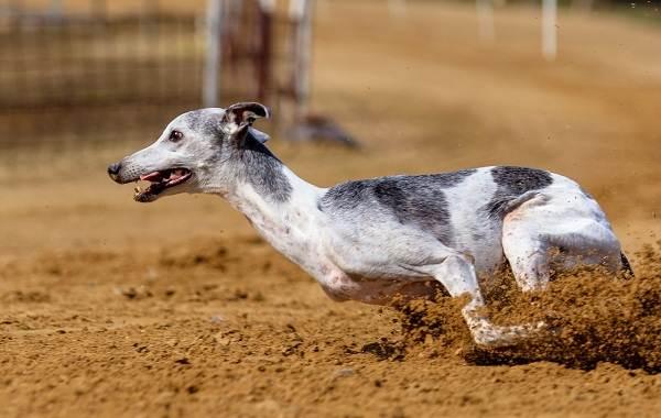 Грейхаунд-собака-Описание-особенности-виды-уход-и-цена-породы-грейхаунд-6