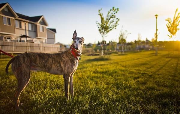 Грейхаунд-собака-Описание-особенности-виды-уход-и-цена-породы-грейхаунд-7