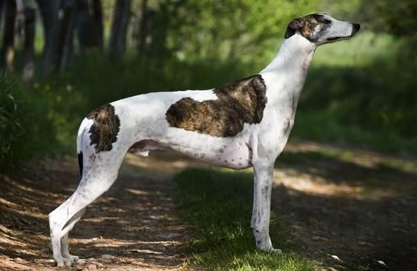 Грейхаунд-собака-Описание-особенности-виды-уход-и-цена-породы-грейхаунд-8