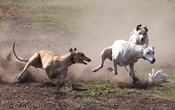 Грейхаунд-собака-Описание-особенности-виды-уход-и-цена-породы-грейхаунд-9