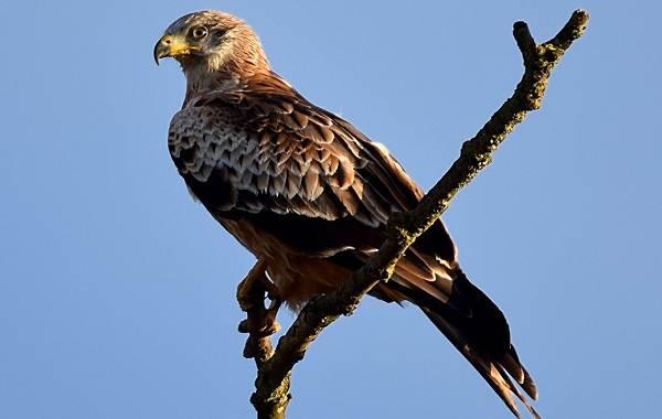 Хищные-птицы-Описание-названия-виды-и-фото-хищных-птиц-12