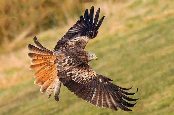 Хищные-птицы-Описание-названия-виды-и-фото-хищных-птиц-13
