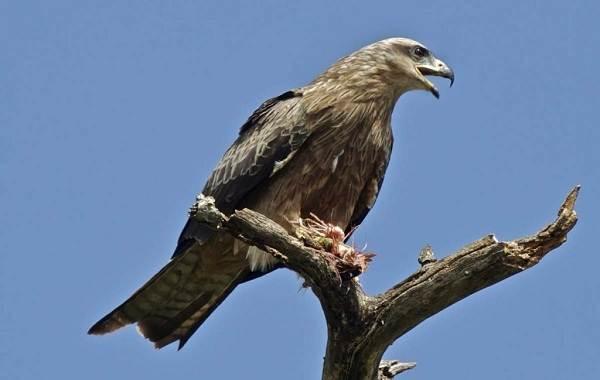 Хищные-птицы-Описание-названия-виды-и-фото-хищных-птиц-14