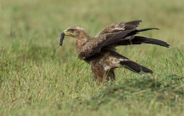 Хищные-птицы-Описание-названия-виды-и-фото-хищных-птиц-15