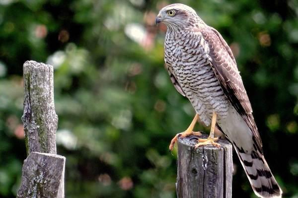 Хищные-птицы-Описание-названия-виды-и-фото-хищных-птиц-19
