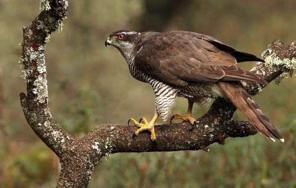 Хищные-птицы-Описание-названия-виды-и-фото-хищных-птиц-20