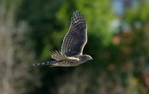 Хищные-птицы-Описание-названия-виды-и-фото-хищных-птиц-21