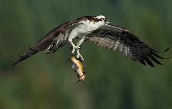 Хищные-птицы-Описание-названия-виды-и-фото-хищных-птиц-22