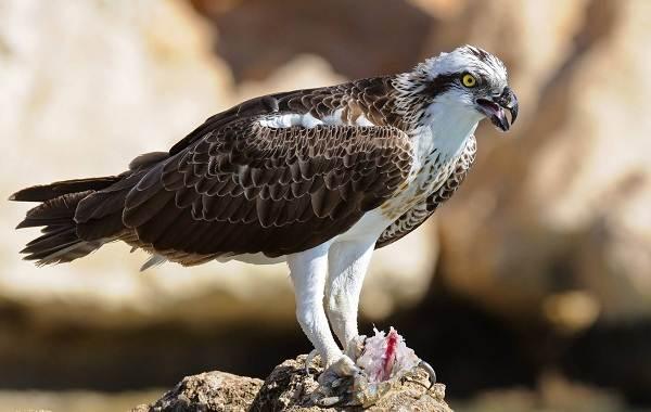 Хищные-птицы-Описание-названия-виды-и-фото-хищных-птиц-23