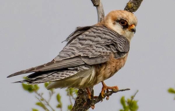 Хищные-птицы-Описание-названия-виды-и-фото-хищных-птиц-24