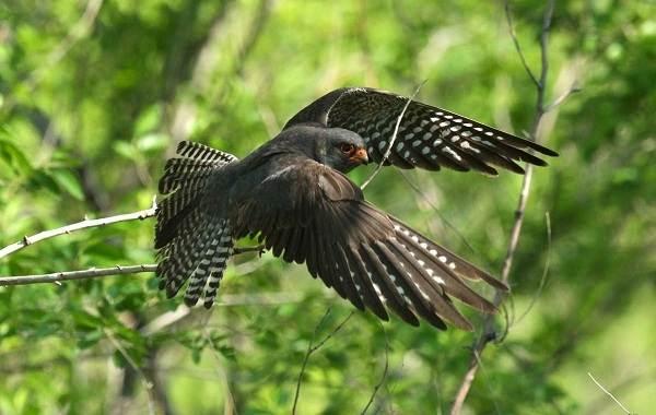 Хищные-птицы-Описание-названия-виды-и-фото-хищных-птиц-25