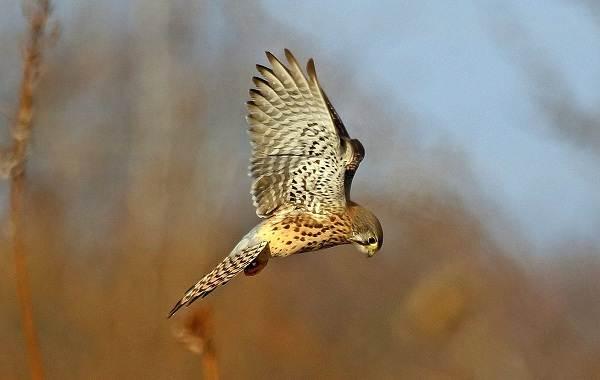 Хищные-птицы-Описание-названия-виды-и-фото-хищных-птиц-26