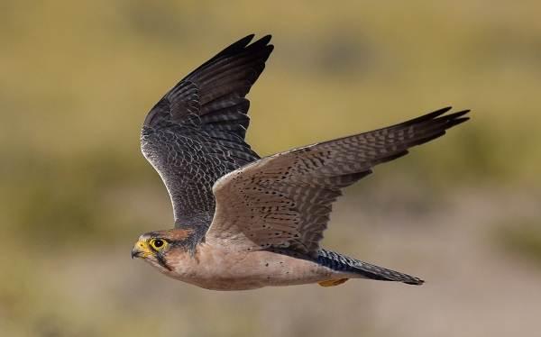 Хищные-птицы-Описание-названия-виды-и-фото-хищных-птиц-28