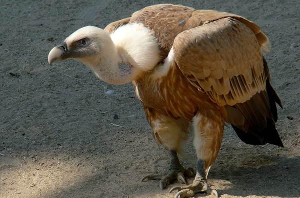 Хищные-птицы-Описание-названия-виды-и-фото-хищных-птиц-3