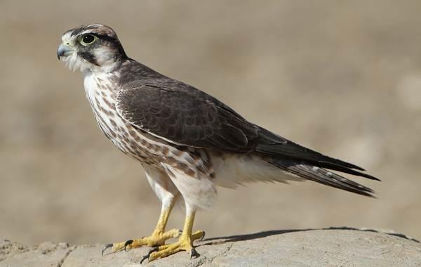 Хищные-птицы-Описание-названия-виды-и-фото-хищных-птиц-30
