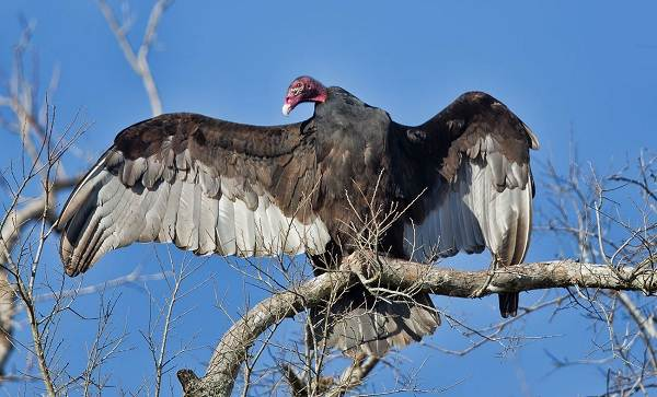 Хищные-птицы-Описание-названия-виды-и-фото-хищных-птиц-37