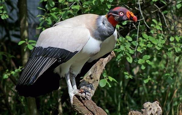 Хищные-птицы-Описание-названия-виды-и-фото-хищных-птиц-38